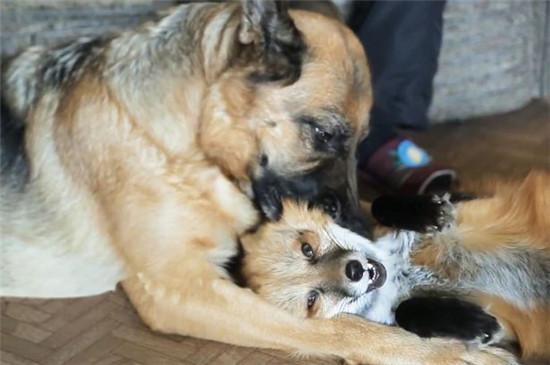 就像所有的宝宝都爱骑大马一样,这只小猴也喜欢骑在它的猪朋友身上。日本猕猴Miwa-chan骑在野猪宝宝Uribo身上的视频在网上火了,这只日本猕猴迅速成了新一代网红。这两只孤单的小动物相依为命,已不仅仅是好朋友那么简单。当小猴子Miwa-chan被浣熊袭击受伤而不得不入院治疗时,Uribo为它憔悴伤神。#在一起在一起 日本京都附近的Fukuchiyama动物园的工作人员也被这对好朋友萌到了。工作人员专门为它们建造了自己的围墙。 Miwa-chan和Uribo的视频在YouTube上被观看了1100万次,