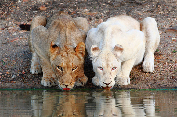 每一只白化动物,可能都是上帝选中的天使