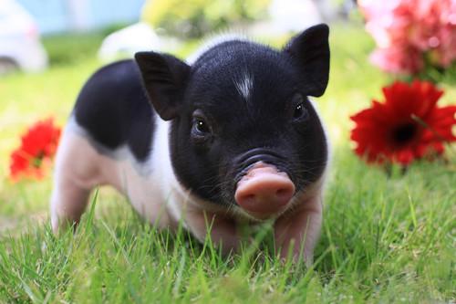 猪动物思考图片大全