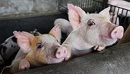 多家企业产品检出非洲猪瘟,两部门:不履行防控责任将严厉查处